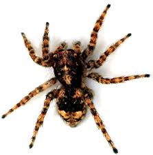 Brown Recluse Spider iraq afghanistan spidres psider